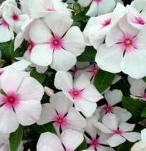 Seeds Vinca - Vinca Blush Flower Seeds- 100 PCS - $60.99