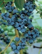 1 Starter Plant of Darrow Blueberry Tree - $45.54