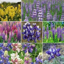 Non GMO Bulk Lupine Mix Flower Seed 7 Species of Wildflower Seeds (25 lbs) - $1,039.45