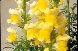 30+ Antirrhinum Sonnet Yellow Snapdragon / Long Lasting Annual Flower Seeds - $14.88