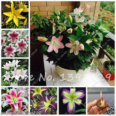 Special Offer Perfume Lily Bulbs Bonsai Flower Garden (not lily seeds) - WHITE