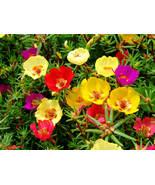 100 Seeds - Rose Moss Portulaca - Mixed - $9.79