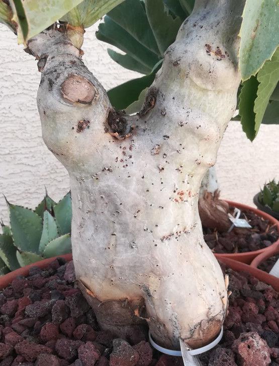 Cyphostemma juttae The Goliath of Caudex Plants 23