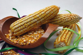 corn, REID'S YELLOW DENT cornmeal, 23 SEEDS! - $14.50
