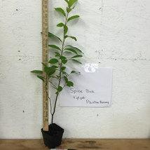 SPICE BUSH, Pond Berry-Lindera melissifolia image 4