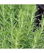 Rosemary, Herb Seed, Heirloom, 20+ Seeds, Healthy and Tasty Herb. The Ge... - $2.99