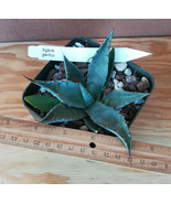 Agave gentryi Beuatiful Compact Blue Leaves Rosette Succulent Plant 1 - $11.83
