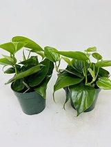 """Heart Leaf """"Philodendron cordatum"""" - (2 Plants) 4"""" Pots - $23.51"""