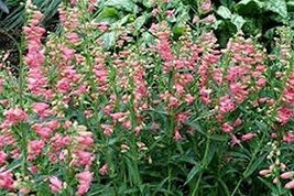 50 Penstemon (Pink) Seeds - $5.94