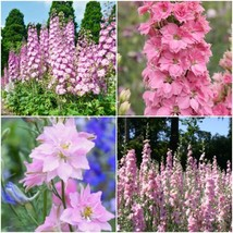 Approx.30-48 Seeds Larkspur Rocket Light Pink, Delphinium Ajacis Flower - DL1 - $11.98
