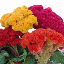 25 seeds Cockscomb-(Celosia Cristata Nana)- Mix colour  - $2.99