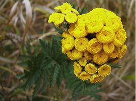 Tansy Golden Button  / Tanacetum Vulgare Flower M 200+ Seeds - $27.77
