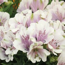 40 Light Purple White Alstroemeria Lily Seeds Flower Seed Peruvian - TTS - $23.95