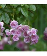 7 Sisters Pink Rose Bush Heirloom ClimbingLive Plant  - $65.99