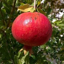 Punica granatum - Wonderful Pomegranate Live Plant - Outdoor Living - Ga... - $48.00