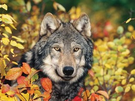 Autumn Gray Wolf 300pc Colorluxe Puzzle - $32.66