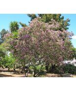 30 Desert Willow seeds (Chilopsis linearis) Ornamental Tree CombSH - $13.58
