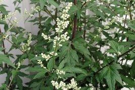 50 seeds of Artemisia Flower White Mugwort - $16.71
