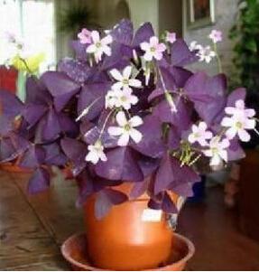 Image of 1 pack Oxalis triangularis ,Shamrock, Sorrel seeds Bonsai potted plant DIY home
