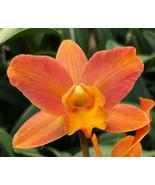 "4"" Pot. My Orange 'NN' CATTLEYA Orchid Plant Pot BLOOMING SIZE 0408L - $29.69"