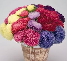 Aster Powder Puff mix 1000 seeds Cut flower Gorgeous CombSH D54 - $38.61