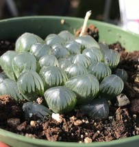 Live Plants-Haworthia obtusa 'Crystal' Light Blue Transparent Succulent - $12.34