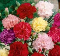 Carnation Chabaud Mix Seeds. 7800 seeds, or 1/2 oz - $34.98
