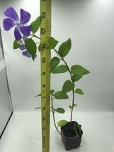 Creeping Myrtle Periwinkle Vinca Minor Vines Flowering Plants Ground Cover - $5.61