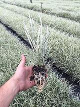 Aztec Grass Qty 15 Live Plants Variegated Liriope Ophiopogon Intermedius Argente - $42.99