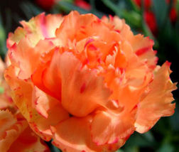 CARNATION CHABAUD ORANGE Dianthus Caryophyllus - 20 Seeds - $11.88