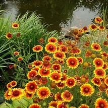 Non GMO Bulk Annual Gaillardia Blanket Flower Seed -Gaillardia pulchella (5 Lbs) - $227.65