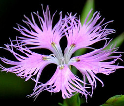 SHIP FROM US 10 Seeds Fringed Pinks,DIY Decorative Plant AM - $23.99