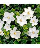 TWENTY plants Gardenia Kleims Hardy White Fragrant Flowers - £75.12 GBP