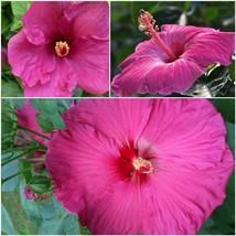 HAWAIIAN PINK HIBISCUS STARTER PLANT - $85.95