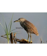 Black Crowned Night Heron Photo, Pick One Image - Various Sizes - $7.50+