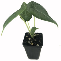 SHIP FROM US Maharani Elephant Ear Alocasia Live Plant Foliage Tropical ... - $40.00