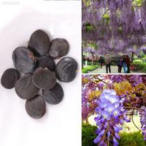 55C9 10pcs Rare Wistaria Vine Seeds Organic Sweet Perennial Garden Climb... - $2.58