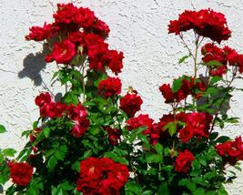 50pcs Very Great Red Polyantha Rose Multiflora Plant Flower Seeds IMA - $13.95
