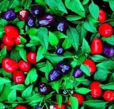 15Pcs Blue Pepper Seeds, Filius Blue Peppers Ornamental Pepper, Hot Pep... - $13.99