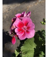"LIVE PLANTS IVY GERANIUM - Pink Varigated - In 4"" Pot Gardening  tkgc - $47.99"