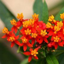 Exotic Flower Seeds 4 Variety Tropical Milkweed Asclepias Curassavica #IMA47 - $14.99+