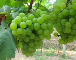 30 Seeds / Pack Fragrant Sweet Green Grape Seeds - $12.99