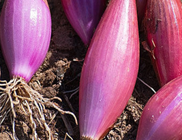 50pcs Long Red Florence Onion Vegetables Seeds,High Nutrition and Healthy IMA1 - $13.99