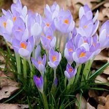 Saffron Bulbs, Saffron Flowers, Netherlands Crocus Sativus Flower, Light Purple - $9.99+