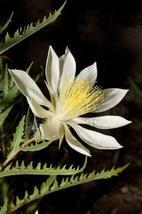 1 Packet of 10 Seeds Tenpetal Blazingstar, Evening-Star, Candleflower, Gumbo Lil - $17.54