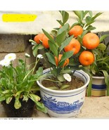 10pcs/bag Balcony Patio Potted Fruit Trees Planted bonsais Kumquat bonsa... - $8.99