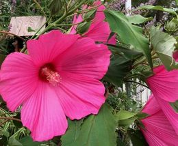 100 pc Hibiscus Flower Seeds Giant Pink Fuchsia Dinner Plate Size Hardy ... - $7.99