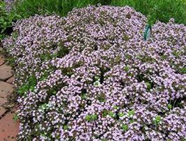 500 Seeds Wild Creeping Thyme Walk ON ME - $13.86