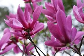 """Live Plant Established Rooted - Ann Magnolia Tree - 3 Plants in 3.5"""" Pots - $72.00"""