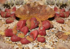 Tanquana prismatica rare rock mesembs exotic succulent cactus aloe seed 15 SEEDS - $18.00